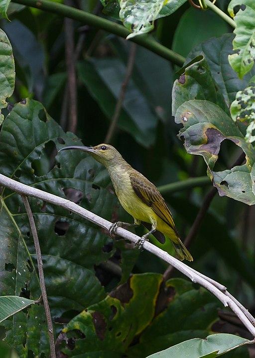 Sandakan Sabah Sunbird-in RDC-01