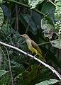 Sandakan Sabah Sunbird-in RDC-01.jpg