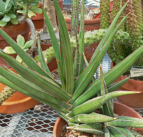 Description de l'image Sansevieria ehrenbergii 3.jpg.