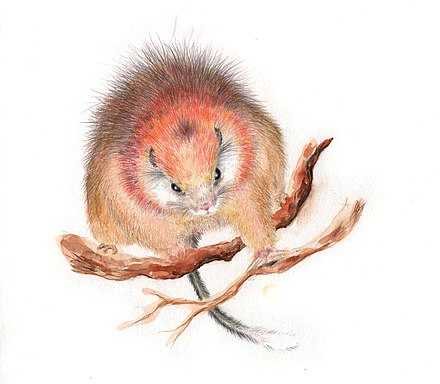 Drawing of the critically endangered red crested soft-furred spiny rat Santamartamys, David Valle Martinez.jpg