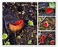 Sarcoscypha austriaca - mosaic (4551541932).jpg