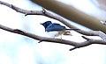 Satin Flycatcher (Myiagra cyanoleuca) (31271464142).jpg