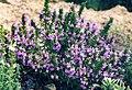 Satureja montanna ssp illyrica.jpg