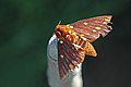 Saturnid moth (Citheronia pseudomexicana).jpg