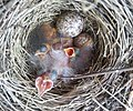 Savannah Sparrow, Passerculus sandwichensis, nestlings baby birds and eggs with much larger Brown-headed cowbird, Molothrus ater nestling AB Canada (2).jpg