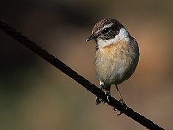 Saxicola dacotiae -Fuerteventura, Canary Islands, Spain-8.jpg