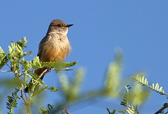 Say's phoebe - Image: Say's Phoebe 30APR2017