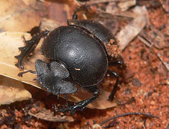 Dung beetle - Scarabaeus viettei (syn. Madateuchus viettei, Scarabaeidae) in dry spiny forest close to Mangily, western Madagascar