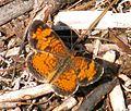 Schmetterling 1 db.jpg