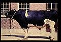 Schwarzbunte = 世界の牛 ドイツ黒白斑牛(雄) (36567900171).jpg