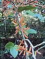 Scleropyrum pentandrum or Scleropyrum wallichianum 07.JPG