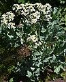 Sea Kale 'Crambe maritima' Plant.JPG