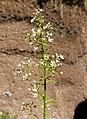 Sedum cepaea inflorescence (16).jpg