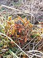 Selaginella helvetica sl3.jpg