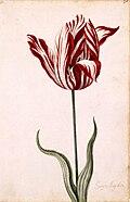 Semper Augustus Tulip 17th century.jpg