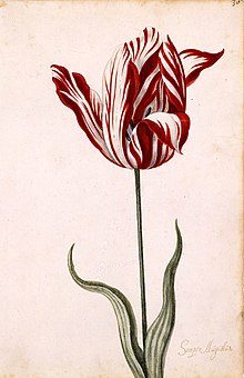 Watercolor painting of a white and red striped tulip