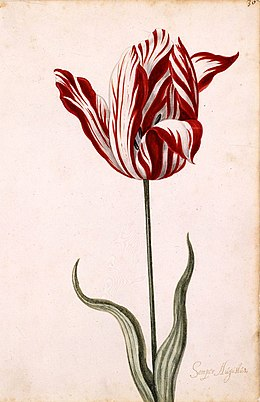 17th-century painting of the Semper Augustus tulip cultivar, whose striping is caused by tulip breaking virus infection