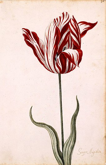 Anonymous 17th-century watercolor of the Semper Augustus, famous for being the most expensive tulip sold during the tulip mania. Semper Augustus Tulip 17th century.jpg