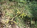 Sensitive plant.jpg