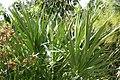 Serenoa repens 16zz.jpg