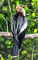 Shark Valley - bird Paradise W of Miami - Anhinga (Anhinga anhinga) - female - (26360926334).jpg