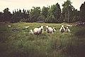 SheepLooking(byJonasNilssonLee).jpeg