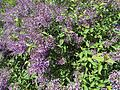 Shrub with purple flowers - 2.jpg