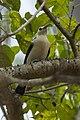 Sickle-billed Vanga - Ankarafantsika - Madagascar S4E9158 (15108858190).jpg