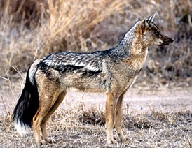 http://upload.wikimedia.org/wikipedia/commons/thumb/c/cc/Side-striped_Jackal.jpg/275px-Side-striped_Jackal.jpg