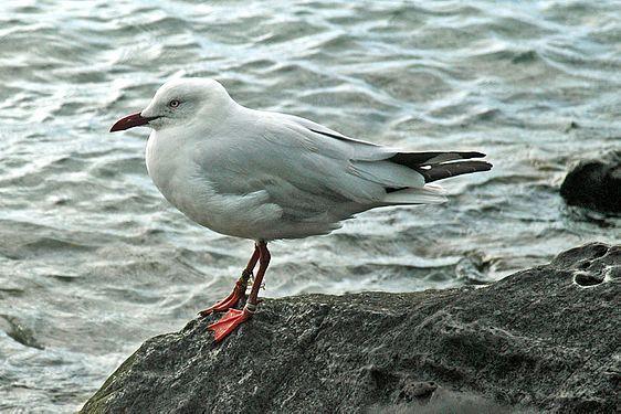 Silver gull - Australia.jpg