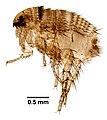 Siphonaptera (YPM IZ 093862).jpeg
