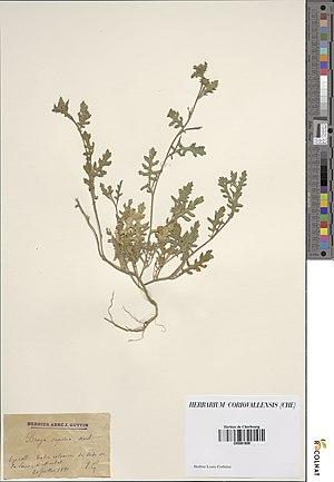 Sisymbrium supinum herbarium (04).jpg