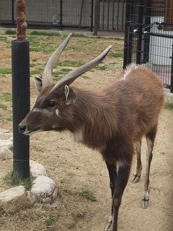 Sitatunga at Oji Zoo.JPG