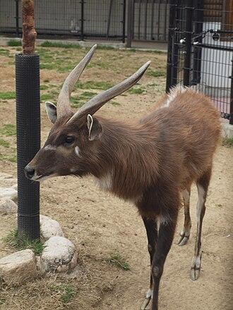Sitatunga - Image: Sitatunga at Oji Zoo