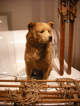 Roald Amundsen - Sled dog Obersten, at museum