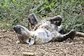Sleeping Hyena (9971292535).jpg
