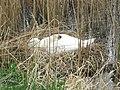Sleeping swan - geograph.org.uk - 755846.jpg