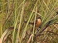 Slender-billed Babbler. AMSM1292.jpg