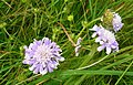 Small Scabious, Scabiosa columbaria - geograph.org.uk - 877061.jpg