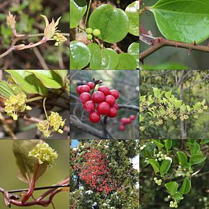 Smilax china - Fruits