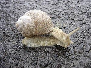 Helix (gastropod) - Burgundy Snail (Helix pomatia)