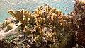 Snorkeling Bari Reef, Bonaire (12841710174).jpg