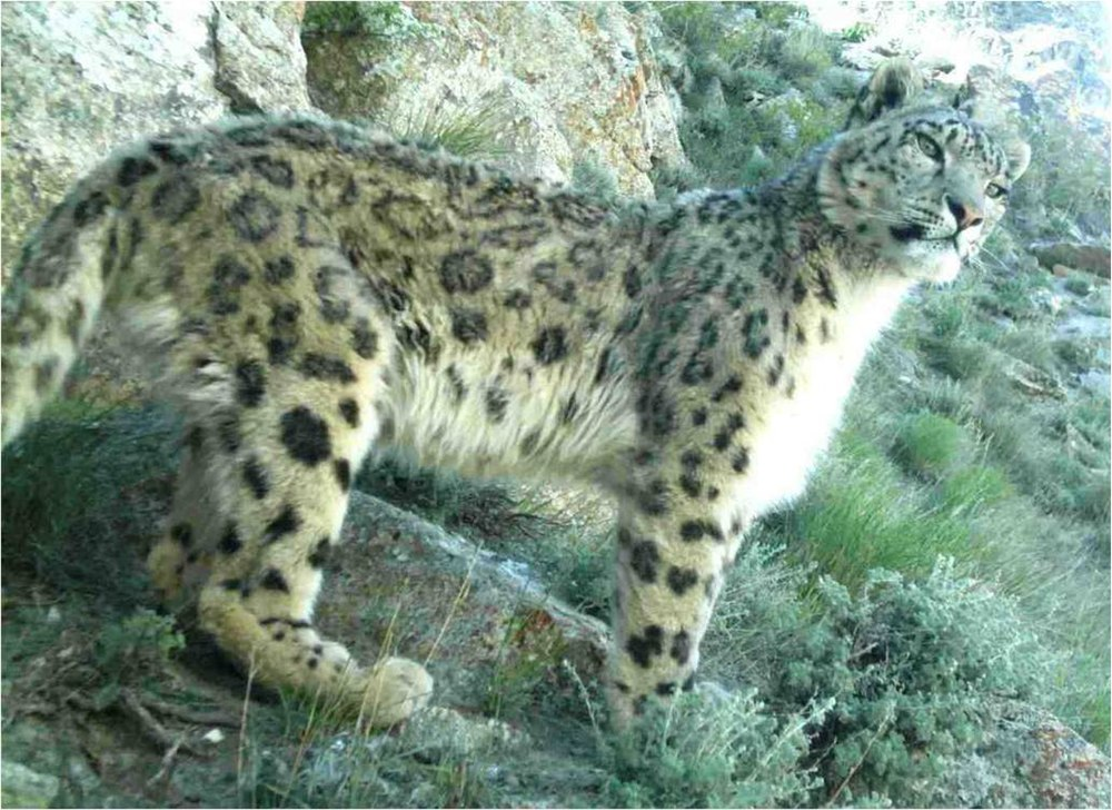 The average litter size of a Snow leopard is 2