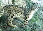 Snow leopard in Afghanistan.jpg