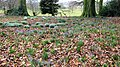 Snowdrops, Crocuses and Beech leaves - geograph.org.uk - 1733928.jpg