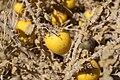 Solanum incanum 001.JPG