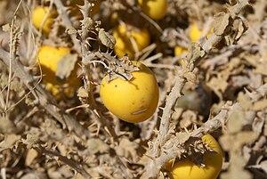 Solanum incanum - Image: Solanum incanum 001