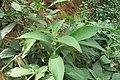 Solanum mauritianum - Wild tobacco tree - at Ooty 2014 (16).jpg