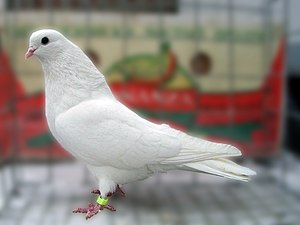 Chistopolian Highflyer - Solid white