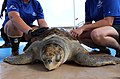 Solstice, an olive ridley sea turtle gets prepped for release (36967364826).jpg
